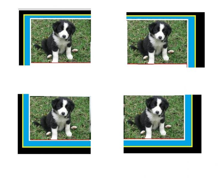 Pedigree border collie Filhotes
