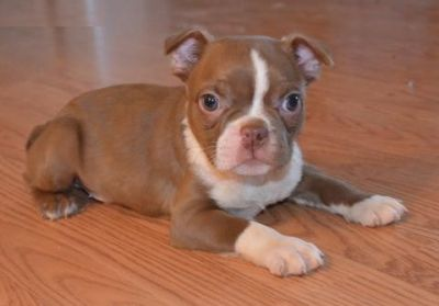 Brindle Boston Terrier Puppies | Image of brindle boston terrier puppies |  Bostons | Pinterest | Brindle boston terrier, Puppy images and Terrier  puppies