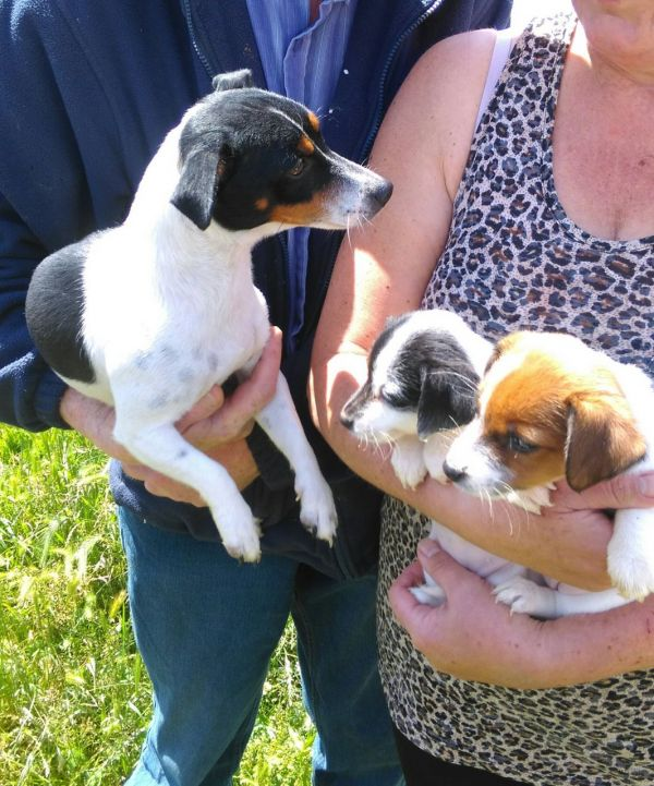 JACK RUSSELL Terrier cachorros (russel)