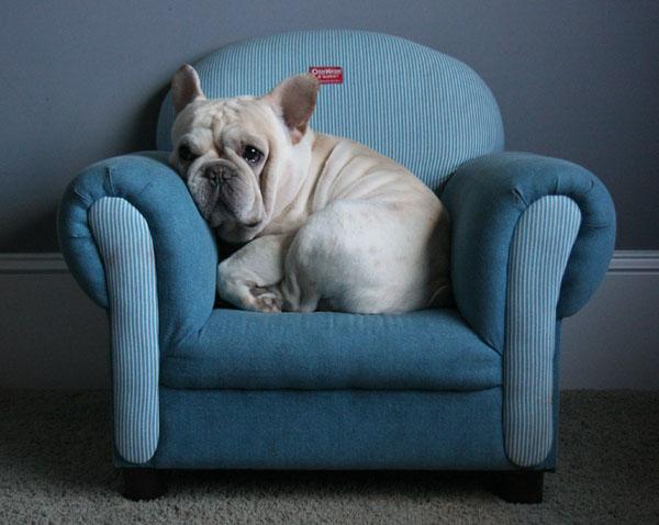 Gratis franc s bulldog cachorros - Bulldog frances gratis madrid ...