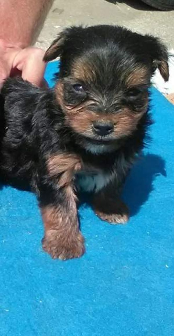 Yorkshire terrier filhotes M / F