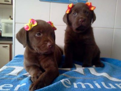 labradores chocolate com pedigre