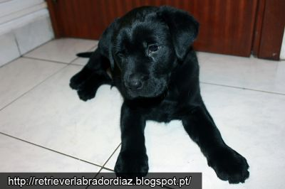 Retriever Labrador