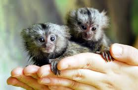 Marmoset Monkey's For free adoption Multiple Images(262)204-7416