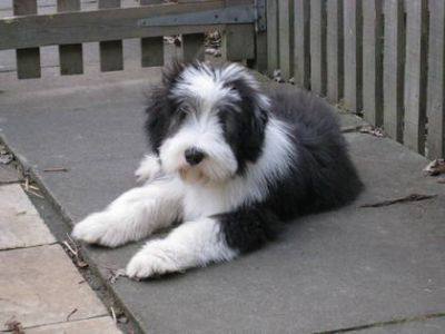 Bearded Collie filhotes